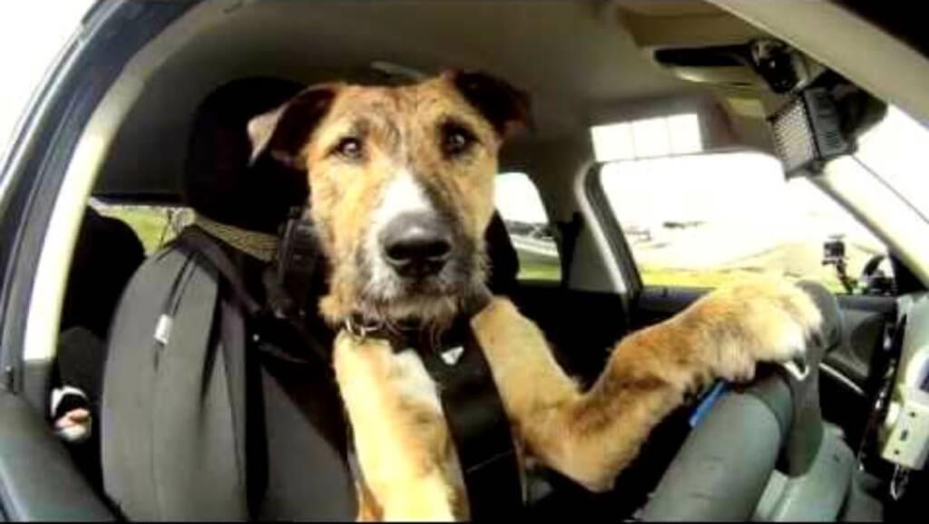 Cachorro ao volante